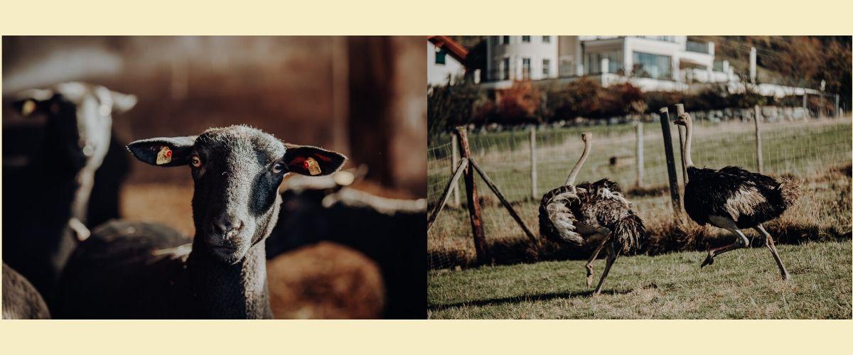 Lamm- und Straußenfarm